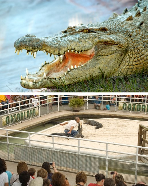 Get close to Alligators at Gatorland