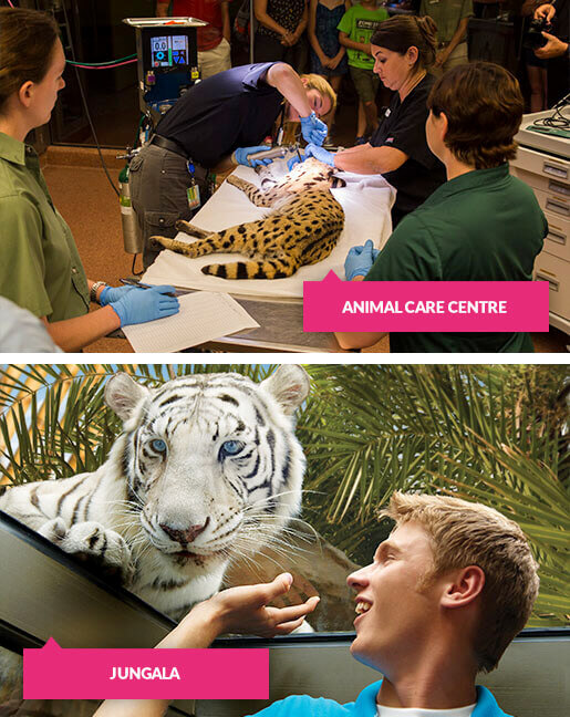 Cheetah in animal care centre and man with white tiger