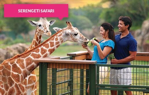 Feeding giraffes on the Serengeti Safari