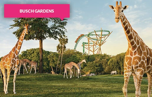Giraffes at Busch Gardens