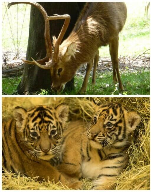 Deer and tiger cubs at Animal Kingdom